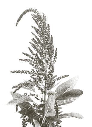 Flor amaranto
